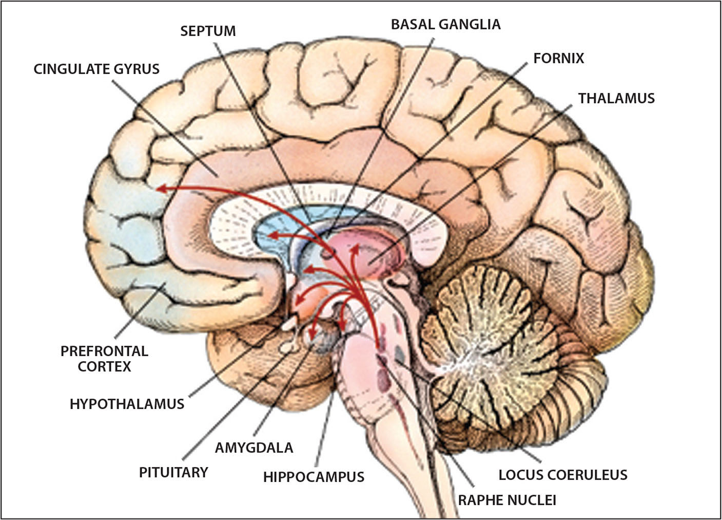Schematic of the brain. Photo courtesy of and reprinted with permission from C. Donner (2013).