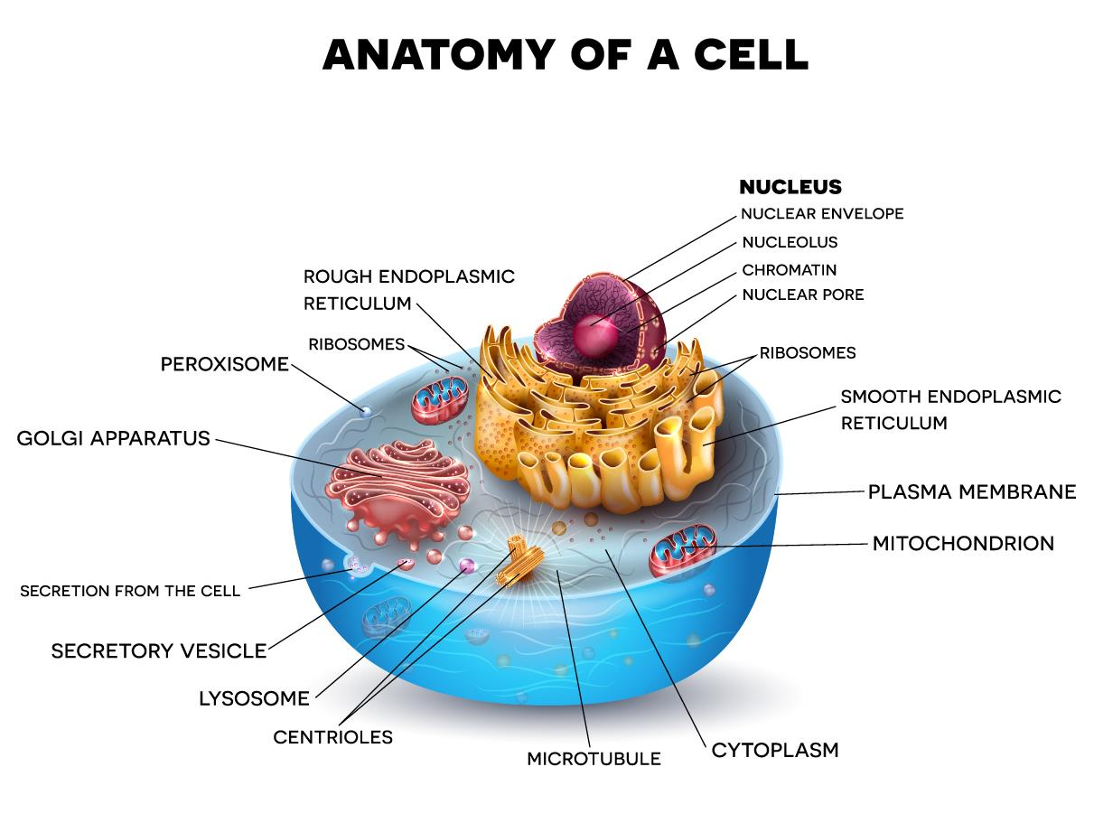 What Are Eukaryotic Cells Functional Anatomy Of Prokaryotic And A Cell Source Shutterstock